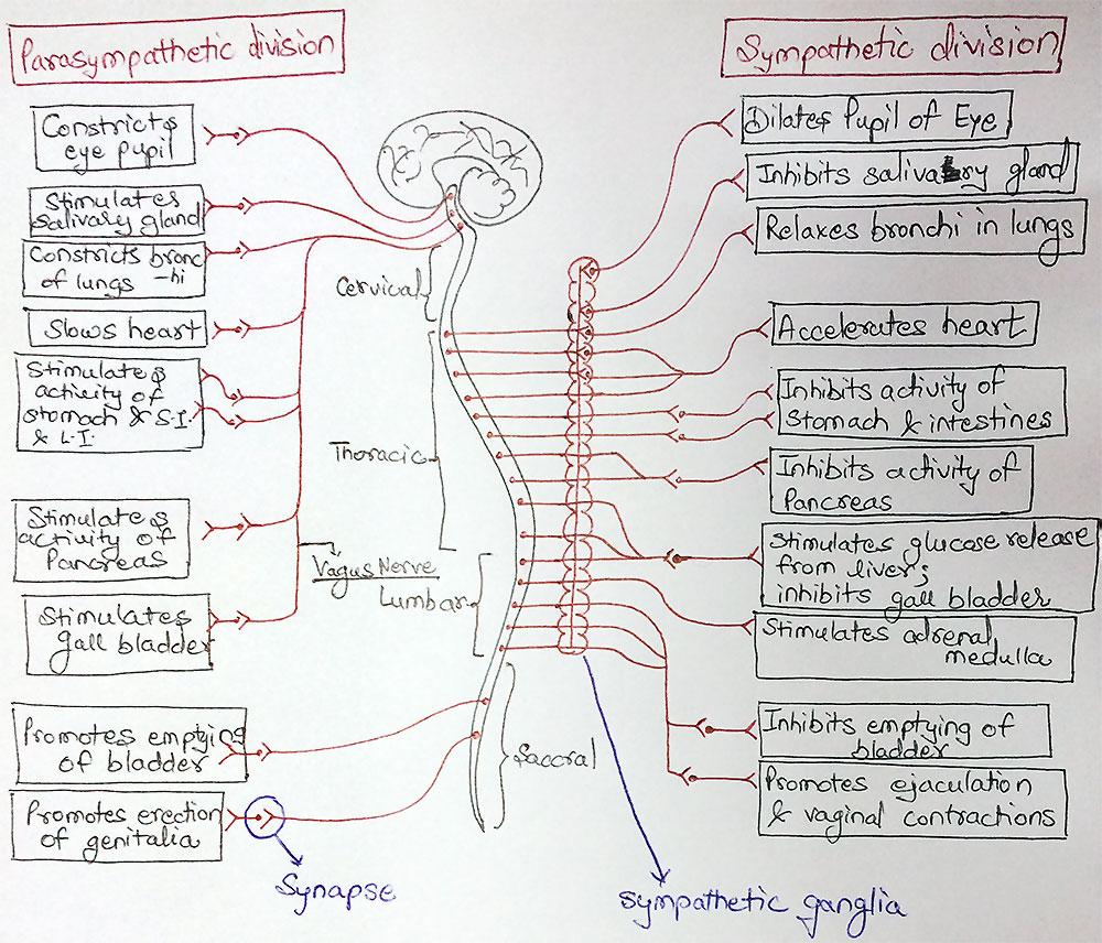 Parasympathetic and sympathetic divisions of the Autonomic Nervous System