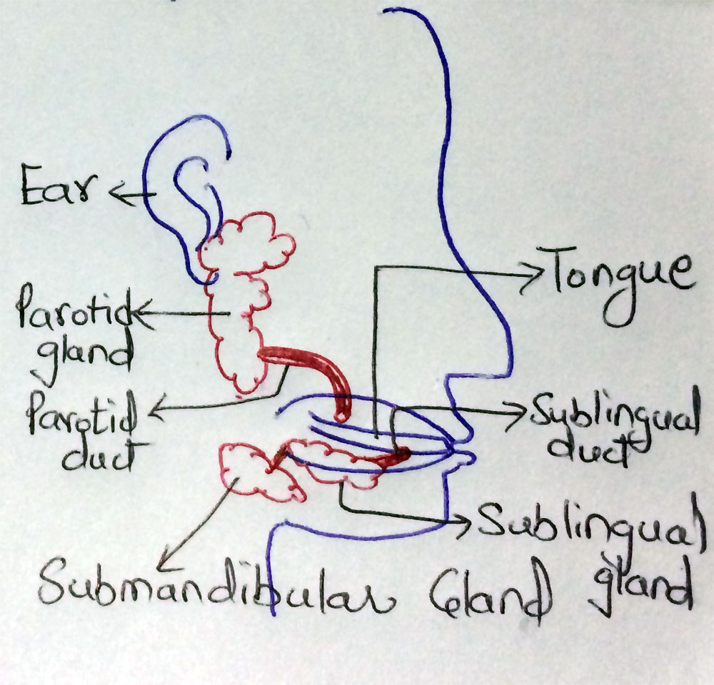 Three types of Salivary Glands