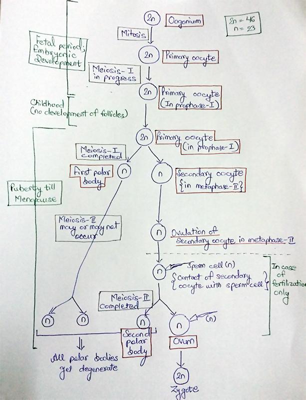 Diagramatic representation of Oogenesis