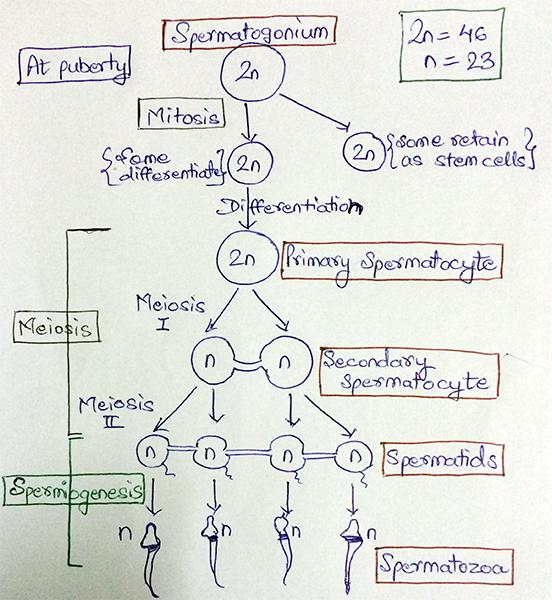 AIPMT- Biology - Spermatogenesis