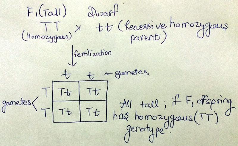 Test Cross(if F1 is homozygous)