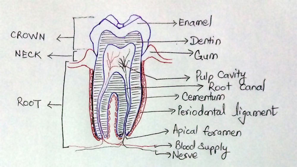 Structure_Of_Typical-Tooth