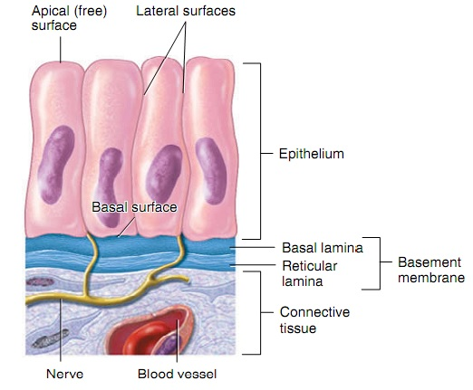Basic structure of Epithelial tissue