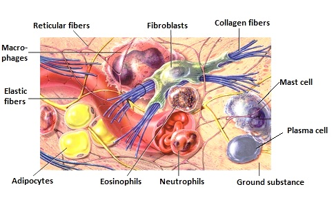 Cells and fibers of the Connective Tissue