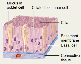 Pseudostratified columar epithelium (ciliated)