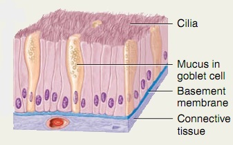 Simple Columnar epithelium (Ciliated)