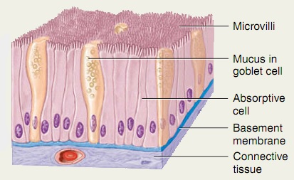 Simple Columnar epithelium (Non-ciliated)