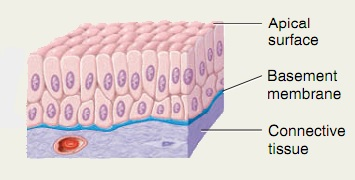 Stratified columnar epithelium