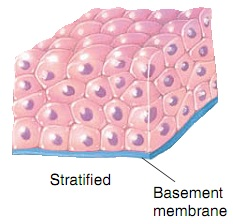 Stratified epithelium