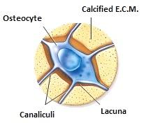 Osteocyte
