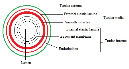 Basic structure showing Walls of Artery-biotrick-neet-biology