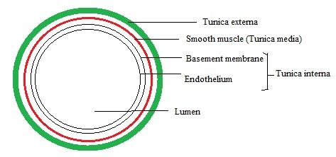 Basic structure showing Walls of Vein-neet-aipmt-biology-biotrick