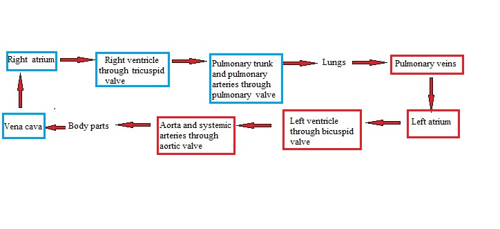 Flow of blood in Double (Pulmonary and Systemic) Circulation