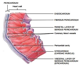 Pericardium and Heart walls